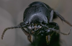 Macro Photo Of Ocypus Olens Beetle Perching On Green Leaves. Black Insect Texture. Concept Photo Of Insect Population In Nature.