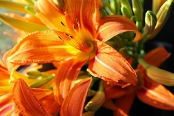 macro photo of orange lilies