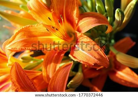 macro photo of orange lilies