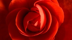 Macro photo of petals building begonia flower. Plant from Begoniaceae family. Large and strong red petals forming centered shape similar to rose bud. Horizontal crop filled by the flower.