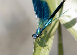 Macro photo of the banded demoiselle damselfly single male with metallic blue color of body and wings, sitting on a leaf at summer day