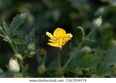 Macro photo of the flower of the barren strawberry Waldsteinia geoides. #1367034974