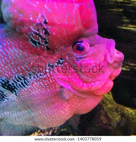 Macro photo of the nature of the aquarium fish Flower Horn. Background fish view Macro photo nature aquarium fish Flower Horn. Background fish pink color pink color #1403778059