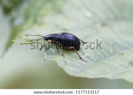 Macro photo of the snout beetle Otiorhynchus coecus, on a green leaf.
