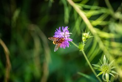 Macro Photo of the Volucella zonaria, the hornet mimic hoverfly (rare insect), sits on a purple blooming flower in a green meadow in a Bavarian nature reserve near the Alps - Bärnsee, Aschau, Germany