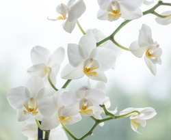 Macro photo of white orchid. Phalaenopsis