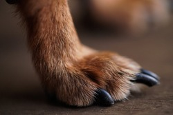 Macro photo paws with long claws of a small dog on a brown wooden background.Dog hair close-up