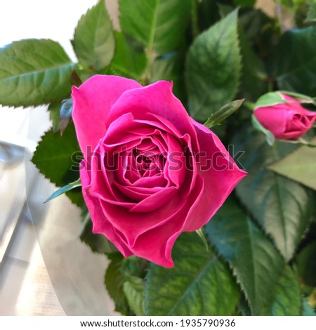 Macro photo pink rose bud. Stock photo blooming rose flower