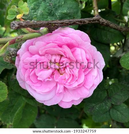Macro photo pink rose. Stock photo blooming rose bud