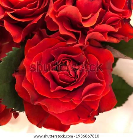 Macro photo red rose  flower. Stock photo red rose bud
