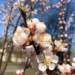 macro photo sakura flowers. Stock photo blooming sakura flowers tree