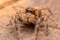 Macro photo: Small jumping spider with lots of hair, big eyes standing on a wooden floor, macro nature.