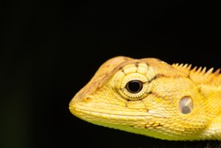 macro photo the head of changeable lizard/calotes versicolor