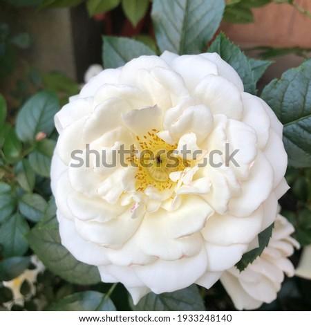 Macro photo  white rose. Stock photo blooming rose bud