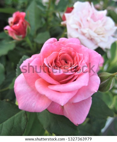 macro photo with a decorative background of a beautiful blooming flower of a plant Bush varietal garden rose with pink petals for landscaping and landscape design as a source for prints, advertising