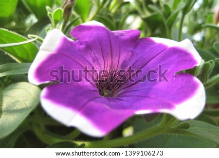 macro photo with a decorative background of a beautiful flower of a herbaceous plant Petunia with a purple shade of color for gardening and garden design as a source for prints, posters, decor