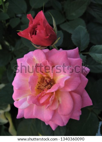 macro photo with a decorative background of a beautiful pink flower Bush perennial garden rose as a source for prints, advertising, decor, interiors, Wallpaper