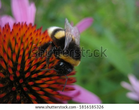 Photo of  macro photo with a decorative background of a fluffy bumblebee on a pink flower in the garden as a source for prints, posters, decor, interiors, Wallpaper, design