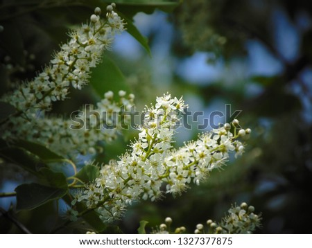macro photo with a decorative background of beautiful fragrant white flowers on the branches of the tree cherry during the spring flowering for greening and landscape design as a source for print