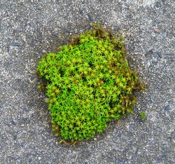 macro photo with a decorative background of beautiful green moss petals in the shape of stars of a perennial herbaceous plant on a gray background of stone as a source for design, prints, posters