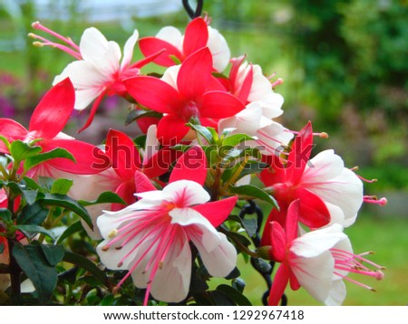 macro photo with a decorative background of flowers of a herbaceous plant fuchsia with petals of pink and white shade for landscaping and landscape design as a source for prints, posters, decor