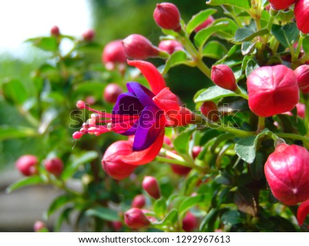 macro photo with a decorative background of flowers of a herbaceous plant fuchsia with petals of violet and pink shade for gardening and landscape design as a source for prints, posters, decor
