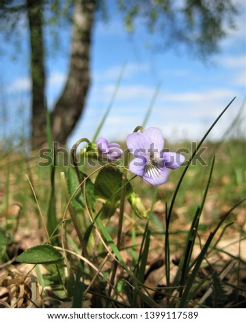 macro photo with a decorative background of wild forest flower herbaceous plants during spring flowering as a source for prints, posters, decor, Wallpaper, interiors