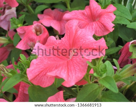 macro photo with decorative background of beautiful bright pink flowers of herbaceous plant Petunia for landscaping and garden landscape design as a source for prints, posters, advertising, decoration