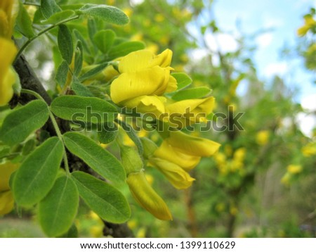 macro photo with decorative background of beautiful bright yellow flowers on the branches of acacia tree for gardening and garden design as a source for prints, posters, decor, Wallpaper