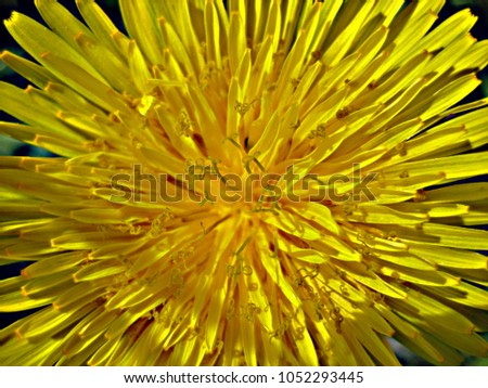 macro photo with decorative background of beautiful bright yellow petals of wild wild wild herb dandelion flower as a source for prints, advertising, posters, interiors, decor #1052293445