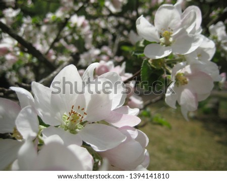 macro photo with decorative background of beautiful flowering branches of Apple fruit tree with white flowers as a source for prints, posters, decor, interiors, Wallpapers, advertising