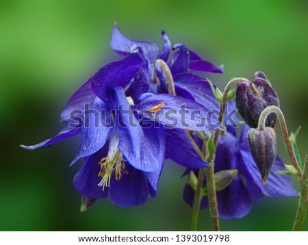 macro photo with decorative background of beautiful flowers of herbaceous plants Aquilegia with blue petals as a source for prints, decor, advertising, posters, interiors, background Wallpaper