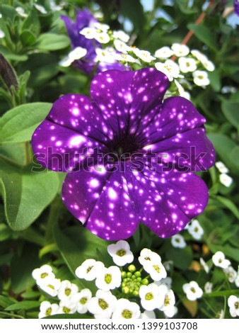 macro photo with decorative background of beautiful purple Petunia flowers for landscaping and landscape design as a source for prints, Wallpapers, posters, interiors