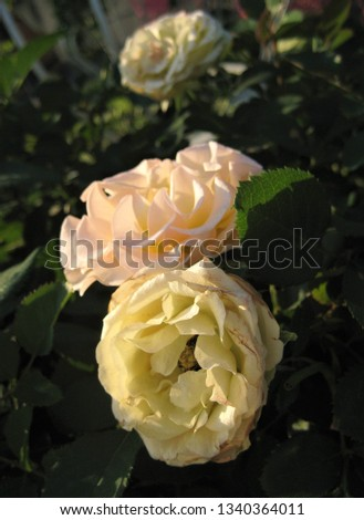macro photo with decorative background of beautiful white flowers of shrub perennial rose plant for garden landscape design as a source for prints, decor, interiors, posters, advertising