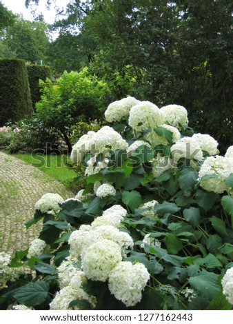macro photo with decorative background of hydrangea garden plant flowers with large white caps for landscaping and garden landscape design as a source for prints, decor, posters, interiors, Wallpaper,