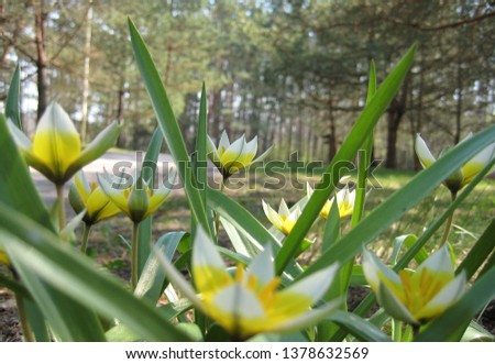 macro photo with decorative background of primroses in spring on the background of forest trees in the countryside of the European country as a source for prints, interiors, posters, decor
