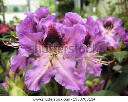 macro photo with decorative background texture beautiful purple flower petals rhododendron shrub plants for landscaping and garden landscape design as a source for prints, advertising, posters