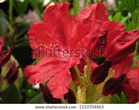 macro photo with decorative background texture beautiful red bright flower petals rhododendron shrub plants for landscaping and garden landscape design as a source for prints, advertising, posters