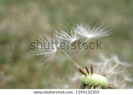 macro photo with decorative background texture light fuzz dandelion flower seeds as a source for prints, posters, decor, interior, Wallpaper