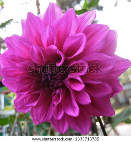 macro photo with decorative background texture of a beautiful flower with petals of a purple shade of Dahlia plant color for landscape design as a source for prints, advertising, posters, decor