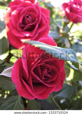 macro photo with decorative background texture of beautiful red petals of flowers plants Bush varietal roses for landscaping and garden landscape design as a source for prints, advertising, posters
