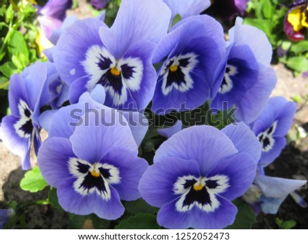 macro photo with decorative background texture of beautiful velvety petals of bright flowers of herbaceous plant violets tricolor for greening and garden landscape design as a source for prints