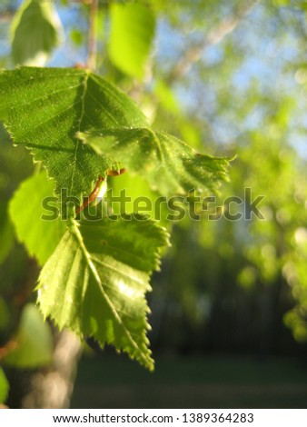 macro photo with decorative background texture of bright green young leaves on birch tree branches in spring for landscaping and Park landscape design as a source for prints, posters, decor, interiors