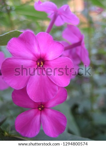 macro photo with decorative background texture of delicate pink petals of garden herbaceous plant flower Phlox as a source for prints, advertising, posters, decor
