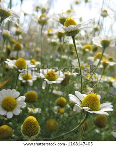 macro photo with decorative background texture of wild wild wild flowers of herbaceous chamomile plant with white petals as a source for prints, decor, posters, interiors #1168147405