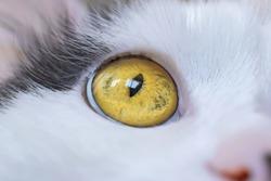 macro photo yellow eye of a white cat