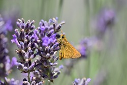 Macro photograph of a large isolated skipper (Ochlodes sylvanus) sucking sap on lavender flowers against a natural bokeh background.
