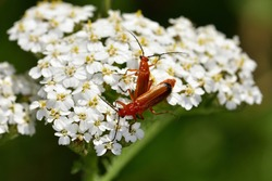 Macro photograph of a pair of common red soldier beetle (Rhagonycha fulva), on white flowers of Achillea.