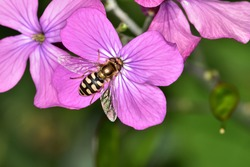 Macro photograph of a specimen of Eupeodes luniger, a species of hoverfly, on a flower of Hesperis matronalis, or Dames Rocket flower.