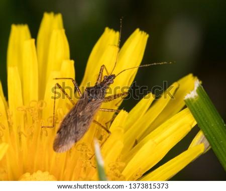 Macro photograph of an Assassin bug feeding on a dandelion flower